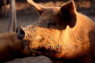 THE TAMWORTH PIG — Origin, History, Improvements in the Breed